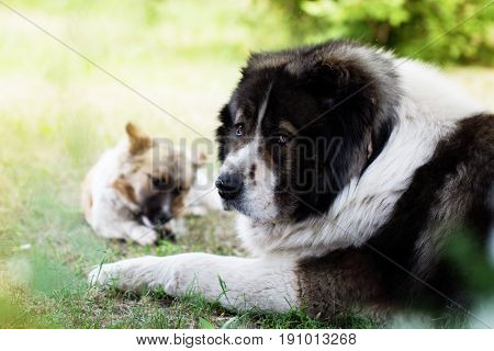 Adult Caucasian Shepherd dog. Fluffy Caucasian shepherd dog is lying on the ground