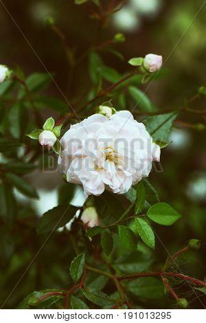 Rose flower closeup. Spring flower of pink rose. Closeup of pink rose spring flower. Spring flower background