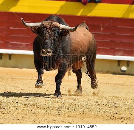 bull in spain with big hotns in bullring