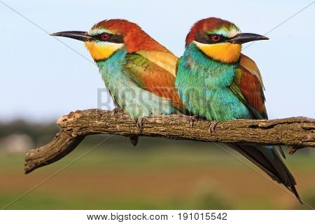 pair European bee-eater sitting on a branch, unusual colors