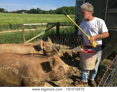 Farmer holds a bucket of food and electric prodder as he feeds his pigs.