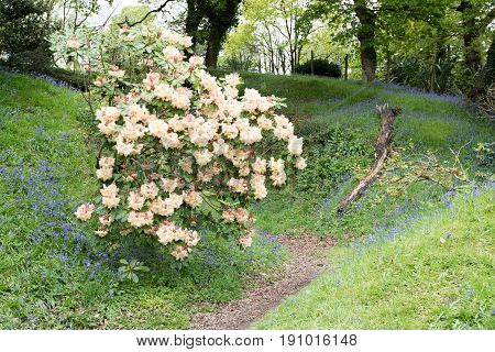 Rhododendron In Flower With Blubells
