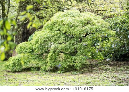 A Green Acer Tree In A Formal Garden