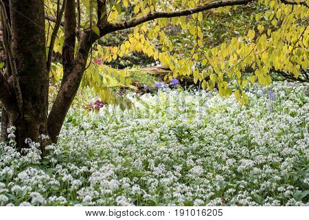 Spring garden where wild garlic flourishes in the shade of a large tree