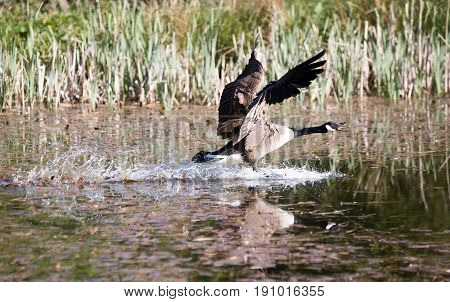 Canada Goose Landing On Water With Tongue Out