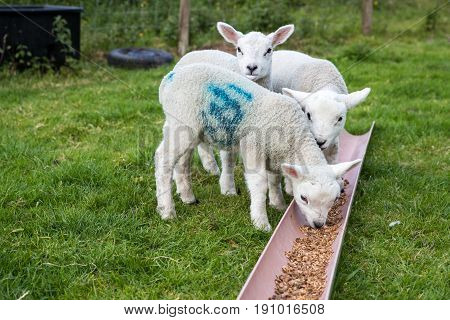 Three Young Lambs Eating Solid Food Outside In A Farmers Field