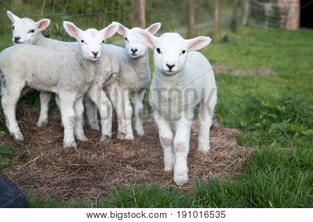 Baby Lambs Are Curious To The Photographer In A Field