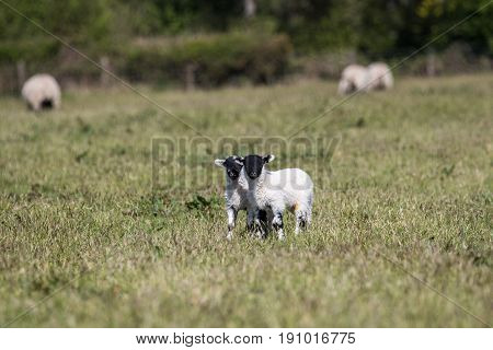 Two Very Cute Young Lambs Stood In A Farmers Field