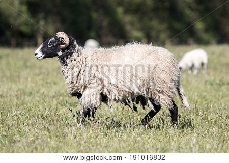 Adult Sheep With Long Scraggy Coat Walking Through A Field Of Grass