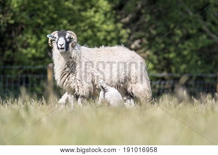 Mother Sheep Stood In A Field With Two Lambs Suckling