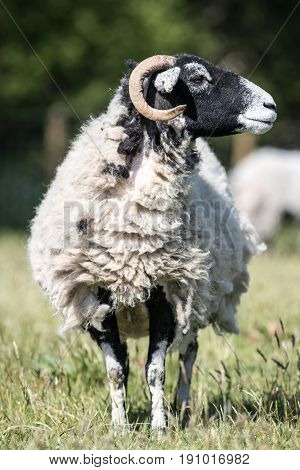 Vertical Shot Of An Adult Swaledale Sheep Ewe Stood In A Field