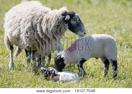 Family Of Sheep With Lambs In A Farmers Field Of Grass