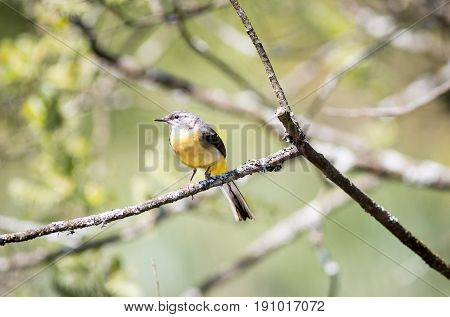 Grey Wagtail With Yellow Breast Sitting In A Tree
