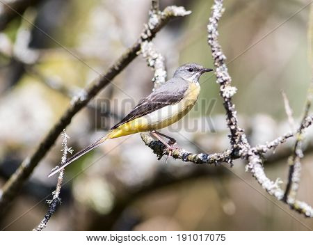 Grey Wagtail Sitting On A Branch In Sunlight