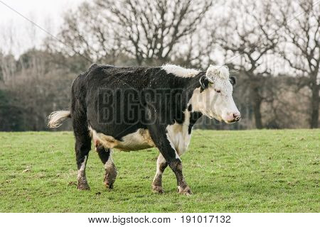 Large Black And White Cow Walking Across Pasture In A Field