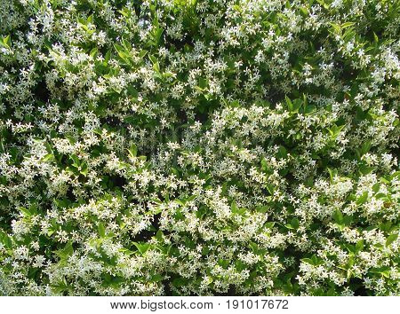 Star jasmine, clamber plant, shot that can be used as a background