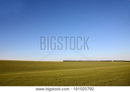 sown with wheat field on background of the sky