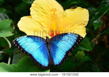 Blue Morpho butterfly lands in the butterfly gardens