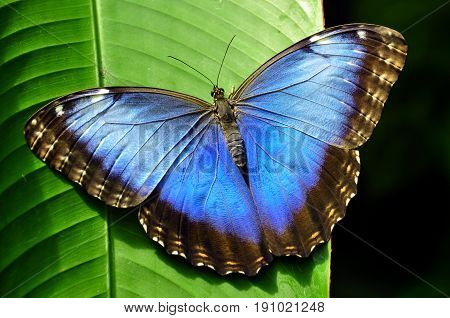 Blue Morpho butterfly showing off its beauty