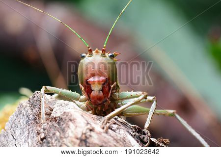 Dragon headed katydid at home in its environment.