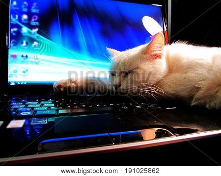 white cat sleeping on the background of laptop