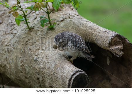 Beautiful Owl Bird (spotted Owlet)