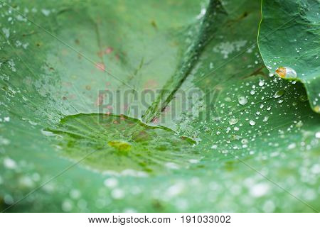 Lotus Leave Or Lily Pad With Water Drops From Rain.