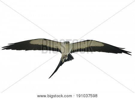 Swallow-tailed Kite (Elanoides forficatus) in flight with a grasshopper,isolated on white