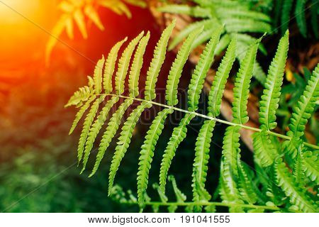 nature green fern with sun light natural background