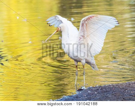 A Yellow-Billed Spoonbill (Platalea regia) spreads its wings beside a lake in Perth, Western Australia.