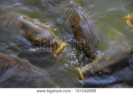 Japanese Koi fish in the murky waters