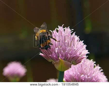 Bee collect nectar on a Chive onion Blossom closeup macro flower.