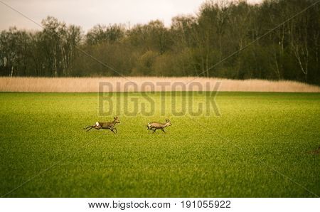 Two Beautiful Does Running Across The Field In Spring