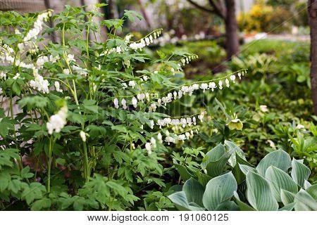 Bleeding Heart flower Dicentra spectabilis alba in the garden. Selective focus.