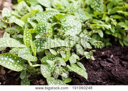 Shadow plant Pulmonaria saccharata in a flowerbed. Lungwort sugar spotted. Selective focus.