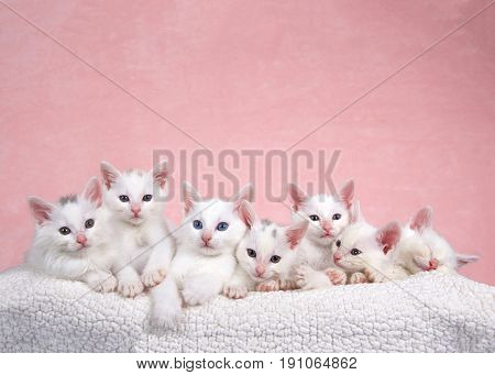 Seven fluffy white kittens laying on an off white sheepskin bed looking forward pink background.