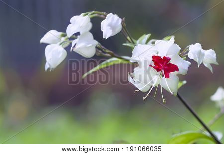Clerodendrum thomsoniae flowers close up hatched with red pistil and white wings are beautiful in nature
