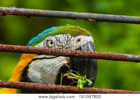 Face parrot with old iron bars. Portrait blue-and-yellow macaw.