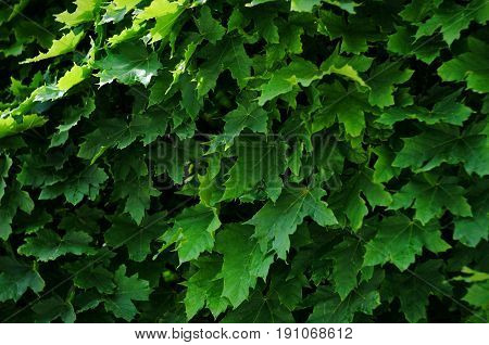 Green Background Of Fresh Summer Maple Leaves