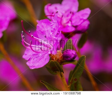 Closeup Rhododendron dauricum flowers. Spring blossoming in Altai