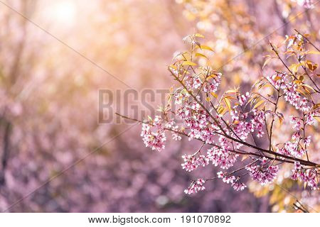 Close-up Cherry Blossom With Blue Sky Background Thai Sakura Blooming During Winter In Thailand