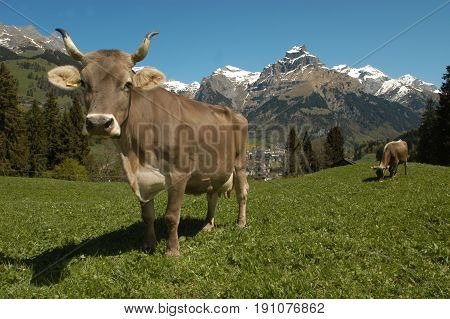 Brown cows in the alpine meadow at Engelberg on the swiss alps