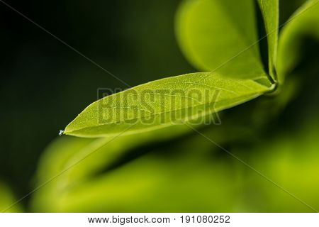 Leaf veins,beautiful green leaf with veins.