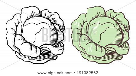 Stylized illustration of cabbage. Vector isolated on white. Outline and colored version