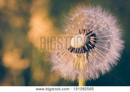 Close Up Of Dandelion, Spring Abstract Color Background