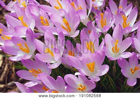 Woodland crocus (Crocus tomassinianus). Called Early crocus Tommasinis crocus and Tommies also