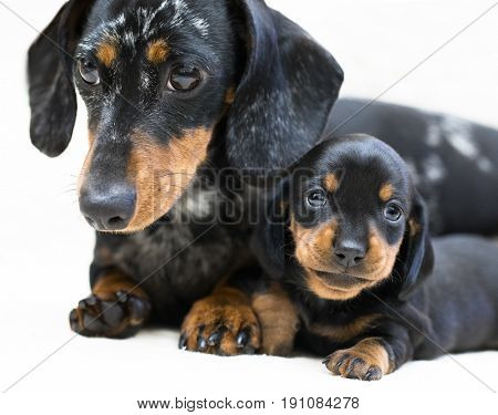 mother dogs and puppy breed dachshund