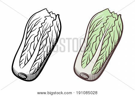 Stylized illustration of chinese cabbage. Vector isolated on white. Outline and colored version