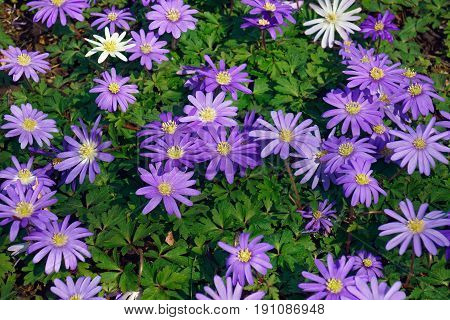 Blue Shades Grecian Windflower