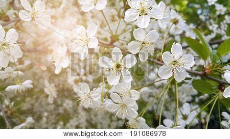 Beautiful branch of spring blooming cherry tree with white flowers